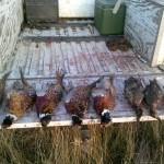 pheasant duck