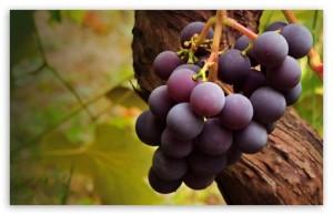 grape_vine-t2