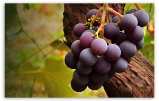 grape_vine-t2